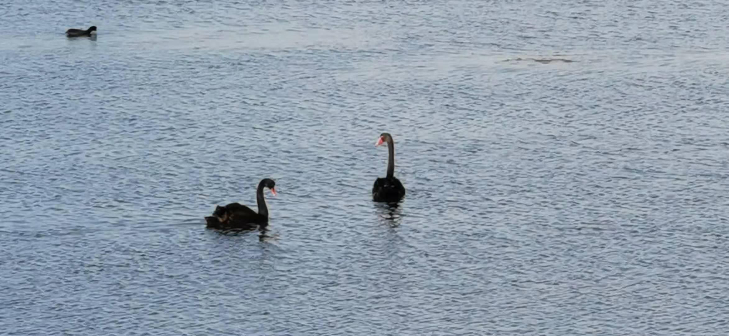 Black swan at the lake